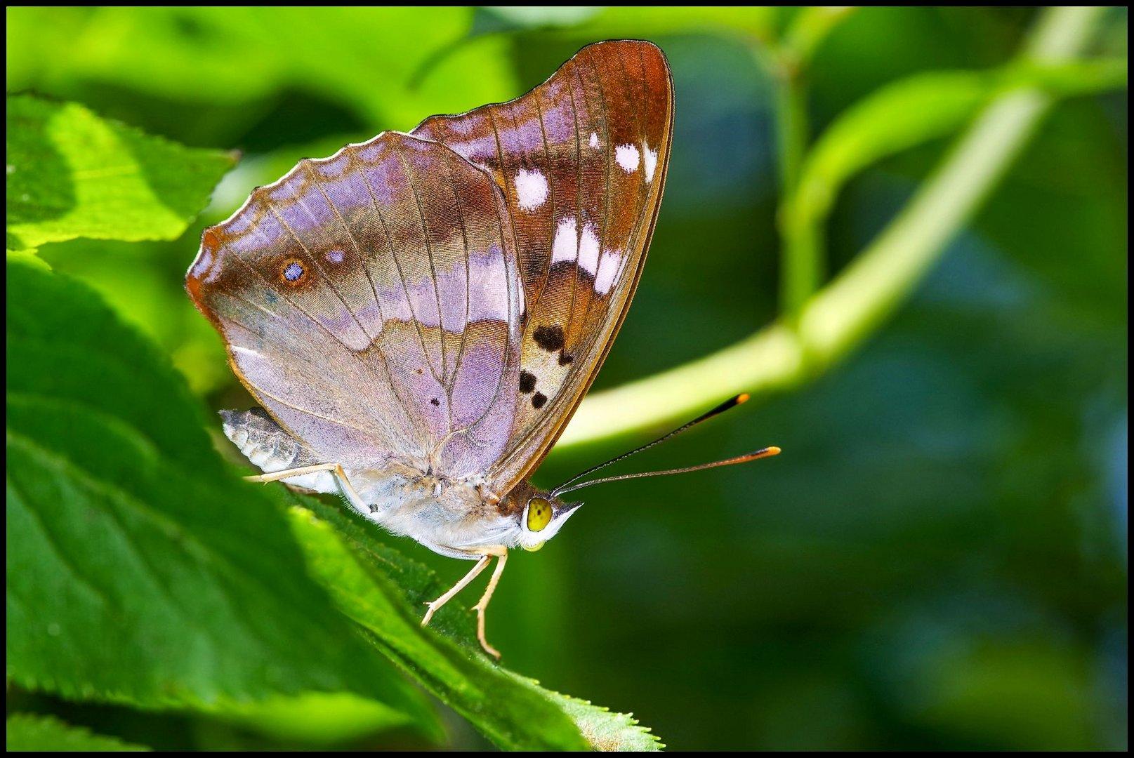 The Lesser Purple Emperor (Apatura ilia)