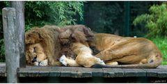 The Lion sleeps...