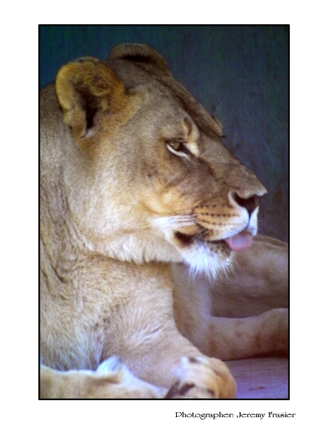 The Lioness