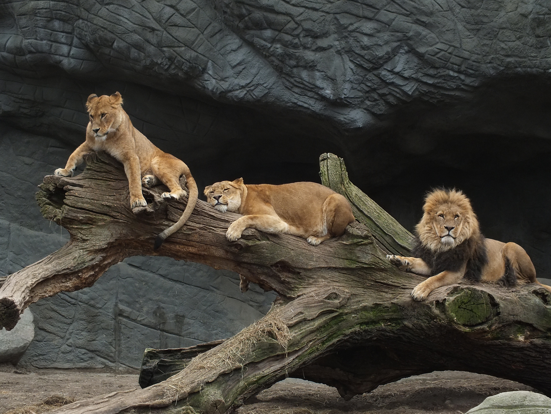 The lions sleep tonight