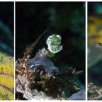 """""""The"""" little green shrimp"""