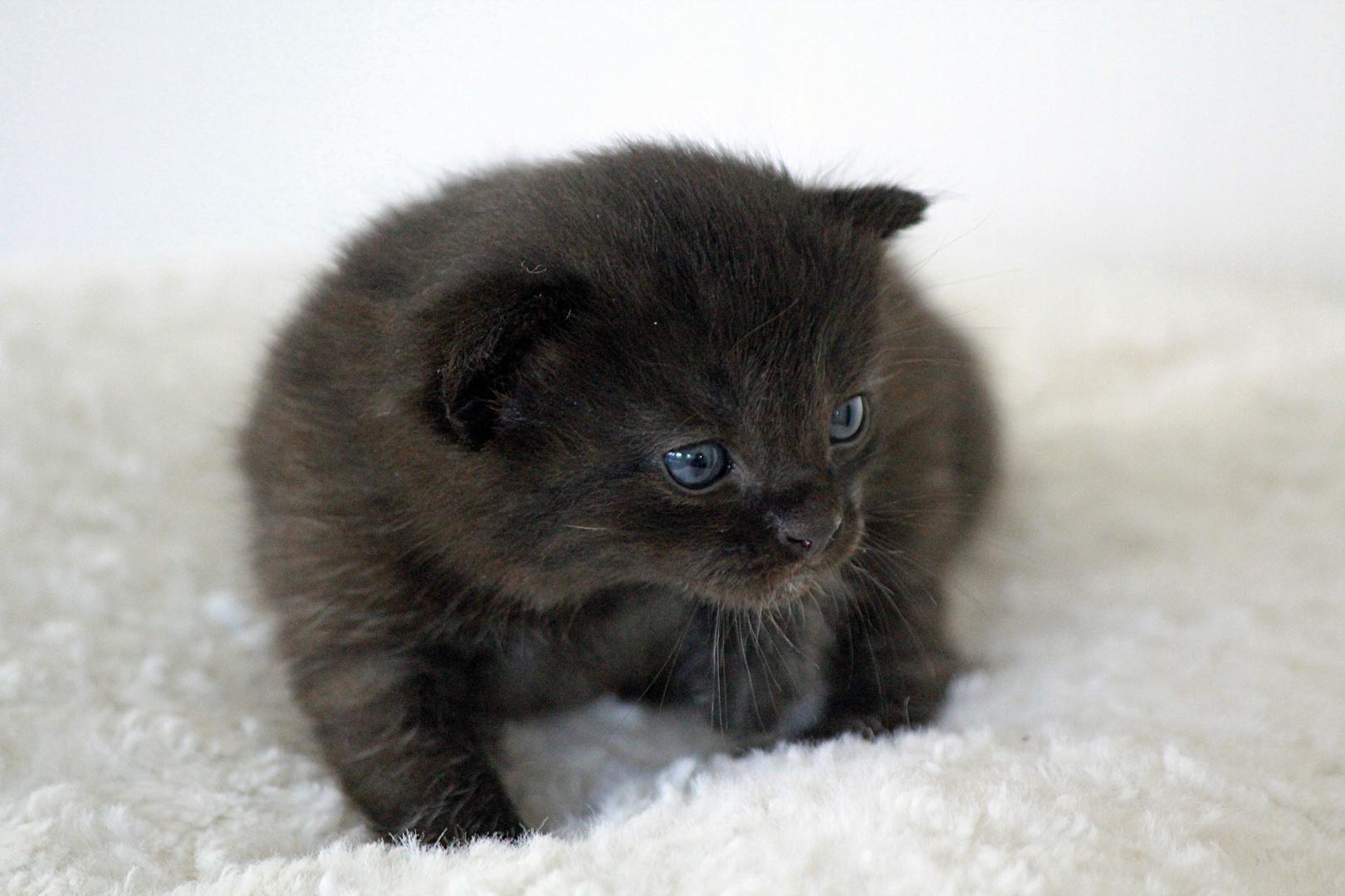 The little grey Kitten