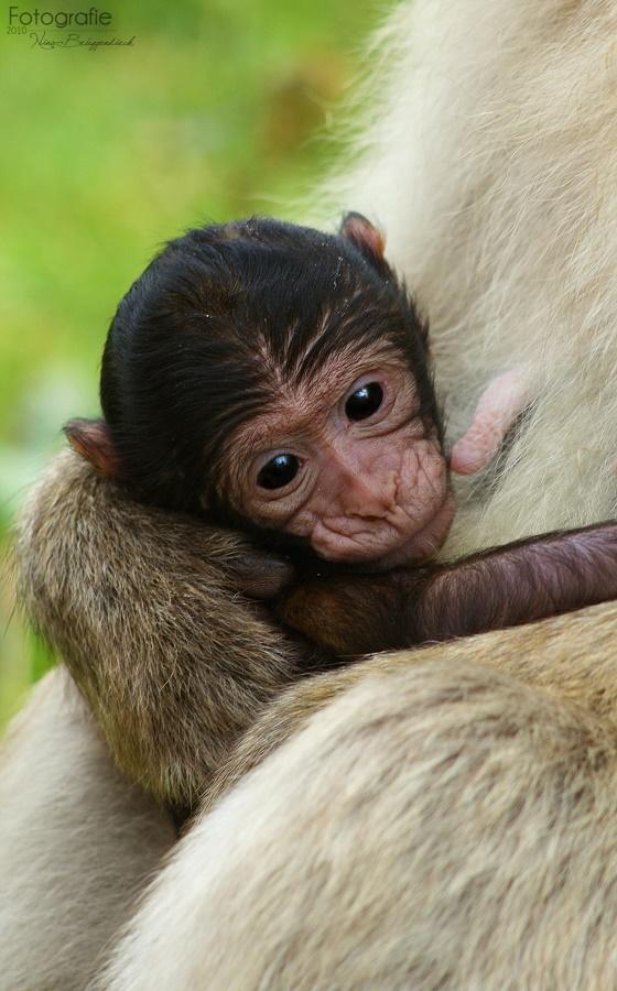 The Little Monkey I