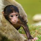 The Little Monkey II