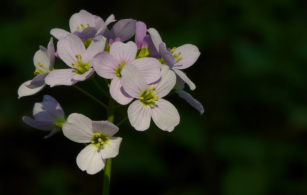 The Living Forest (109) : Cuckoo flower