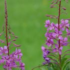 The living Forest (11) : Fireweed.