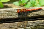 The Living Forest (116) : Ruddy Darter (male)