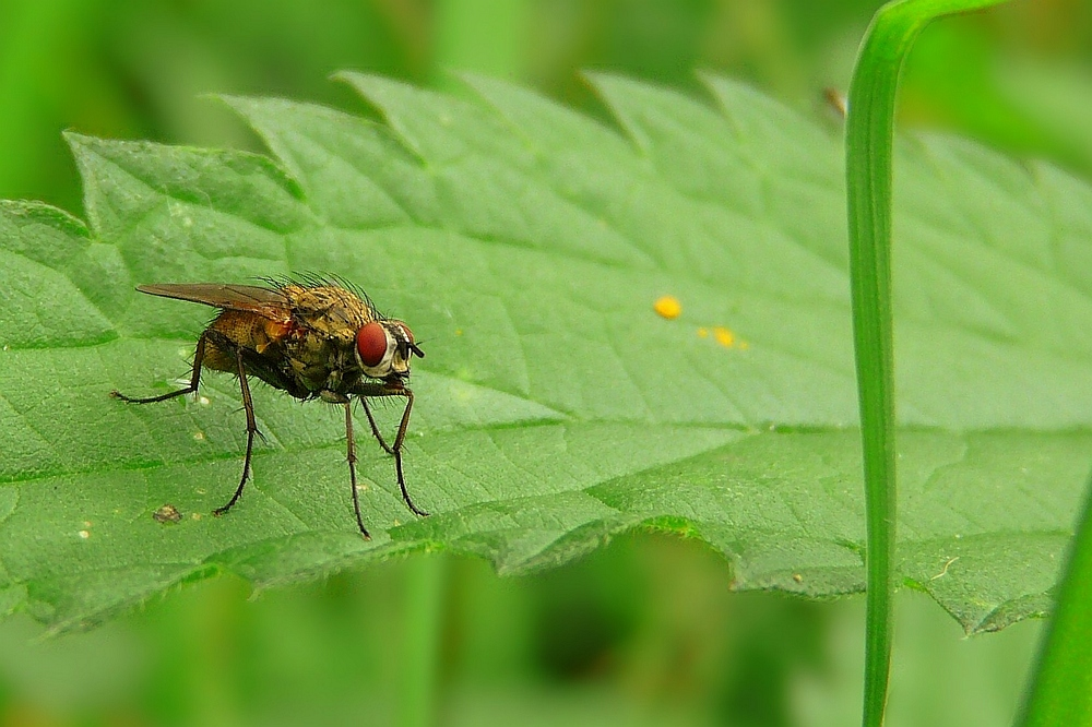 The Living Forest (12) : Flesh fly