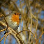 The Living Forest (137) : Robin
