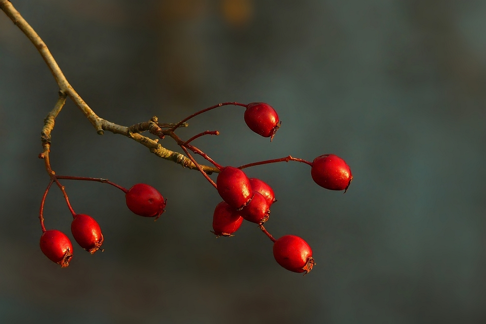 The Living Forest (140) : Whitebeam