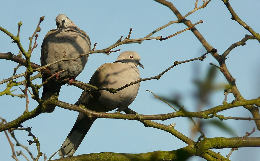 The Living Forest (141) : Collared Dove