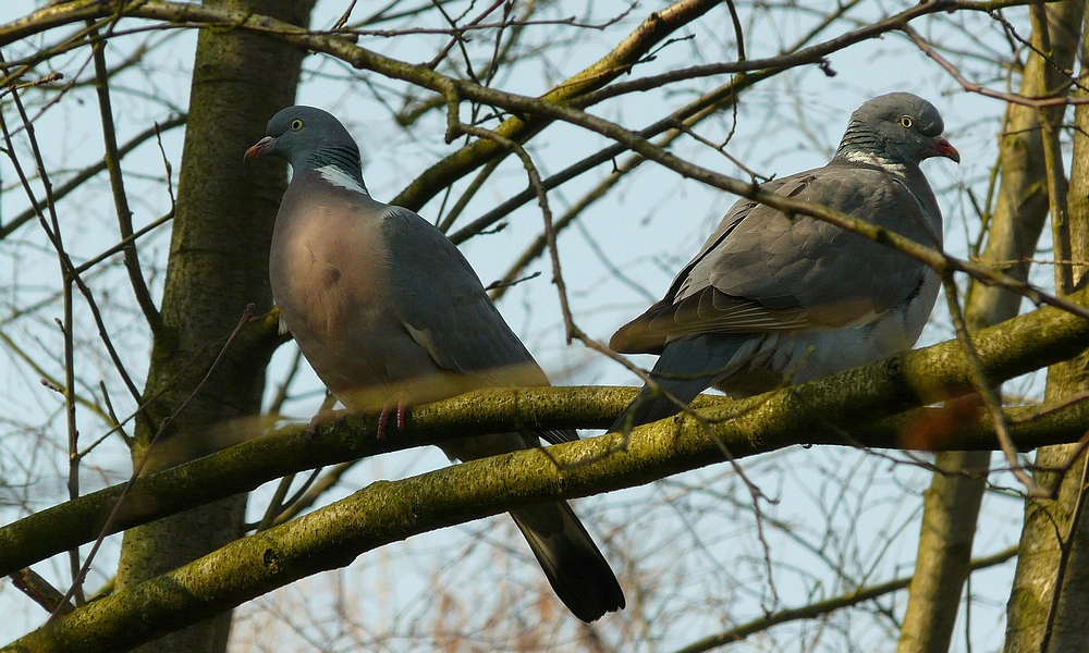 The Living Forest (173) : Wood Pigeons