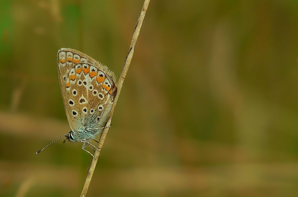 The Living Forest (21) : Common blue butterfly