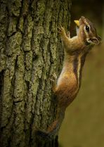 The Living Forest (211) : Siberian Chipmunk