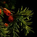 The Living Forest (213) : European Yew