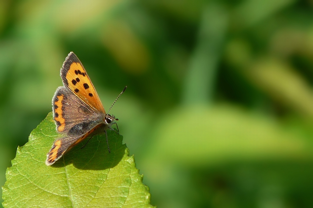 The Living Forest (23) : Small copper