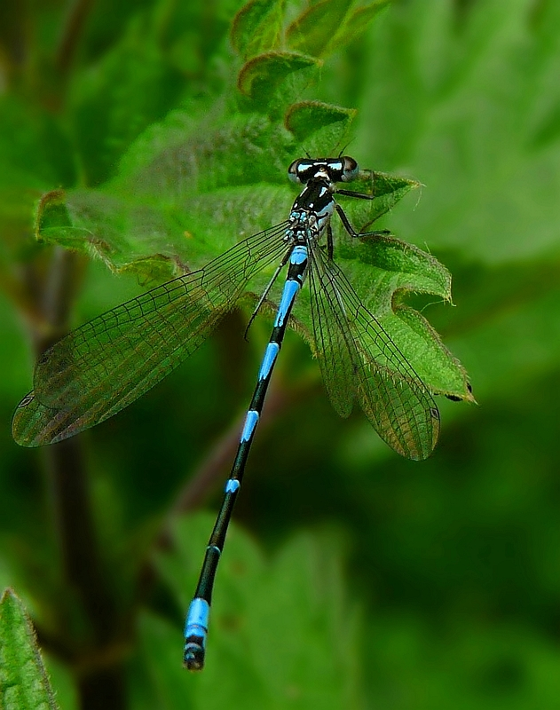 The Living Forest (236) : Variable Damselfly
