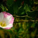 The Living Forest (245) : Field Bindweed
