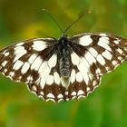 The Living Forest (259) : Marbled White (female)