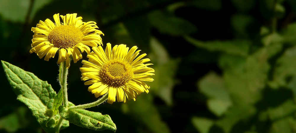 The Living Forest (260) : Yellow Oxeye Daisy