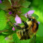 The Living Forest (277) : Common Carder Bee