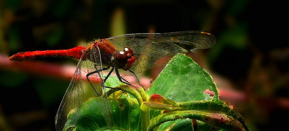 The Living Forest (282) : Ruddy Darter (male)