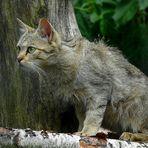 The Living Forest (334) : European Wildcat