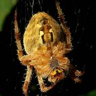 The Living Forest (339) : Cross Spider