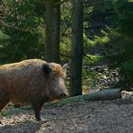 The Living Forest (34) : Wild Boar