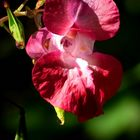 The Living Forest (343) : Himalayan Balsam