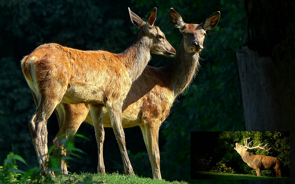 The Living Forest (347) : Red Deer
