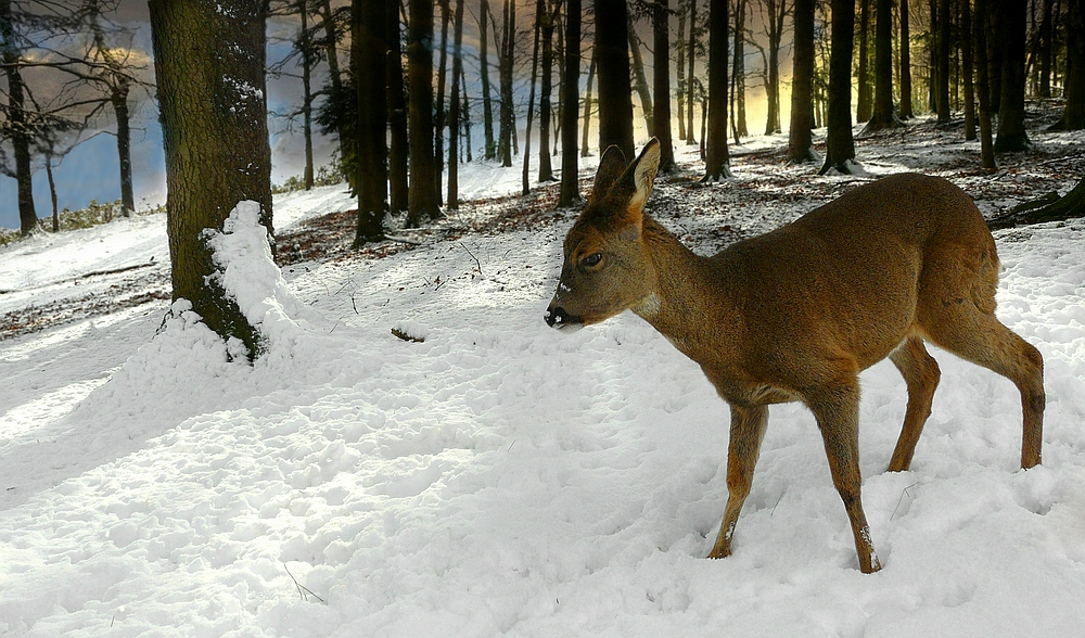 The Living Forest (349) : Roe deer