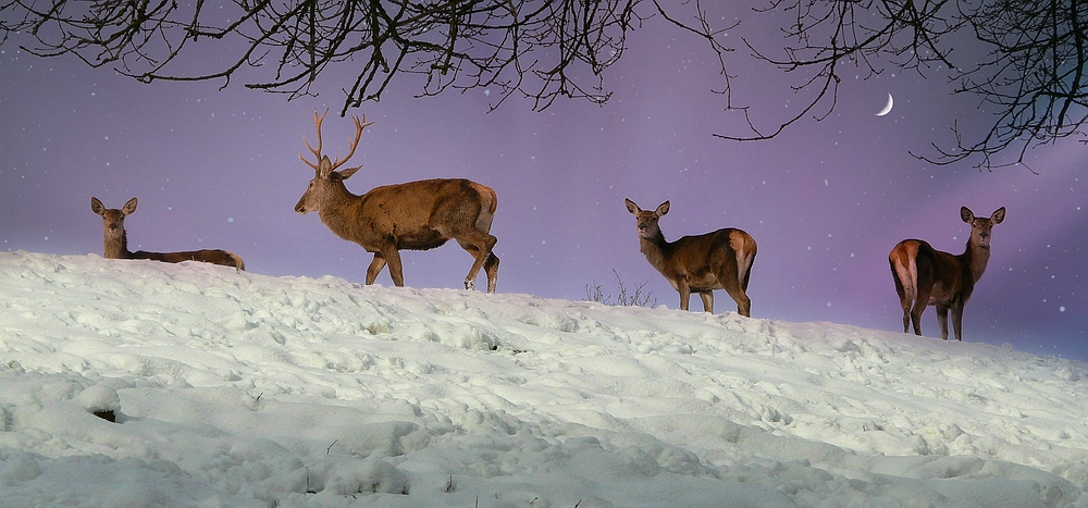 The Living Forest (350) : Red Deers