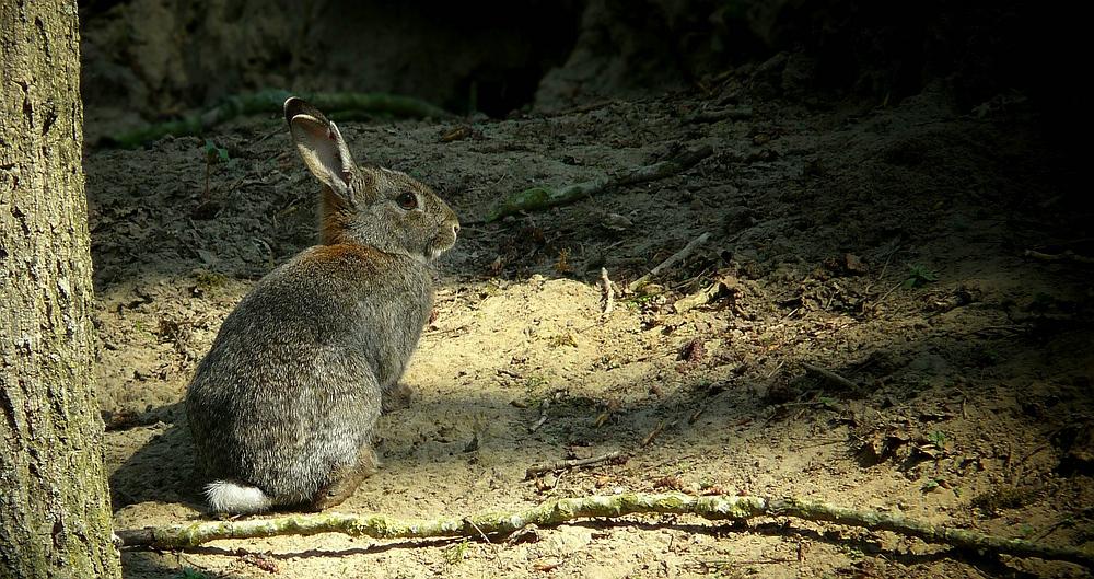The Living Forest (351) : European Rabbit