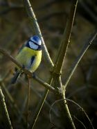 The Living Forest (357) : Blue Tit