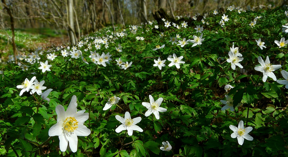 The Living Forest (359) : Wood Anemones