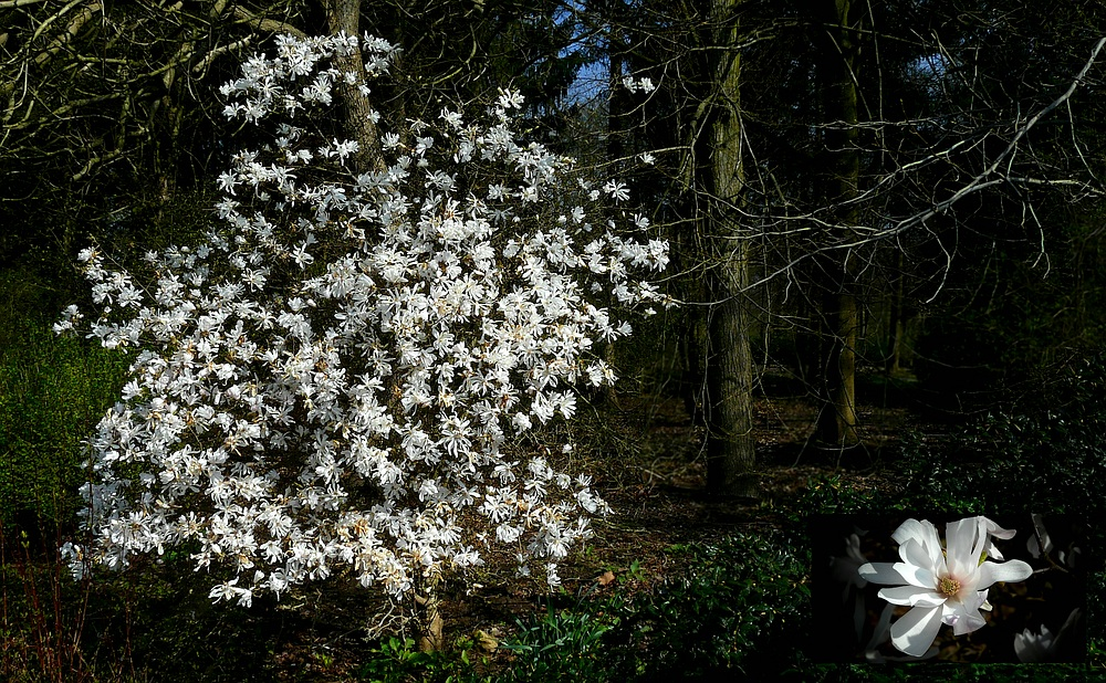 The Living Forest (360) : Star Magnolia