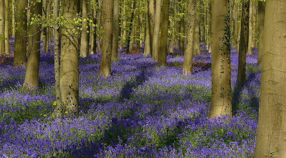 The Living Forest (362) : A sea of Bluebells