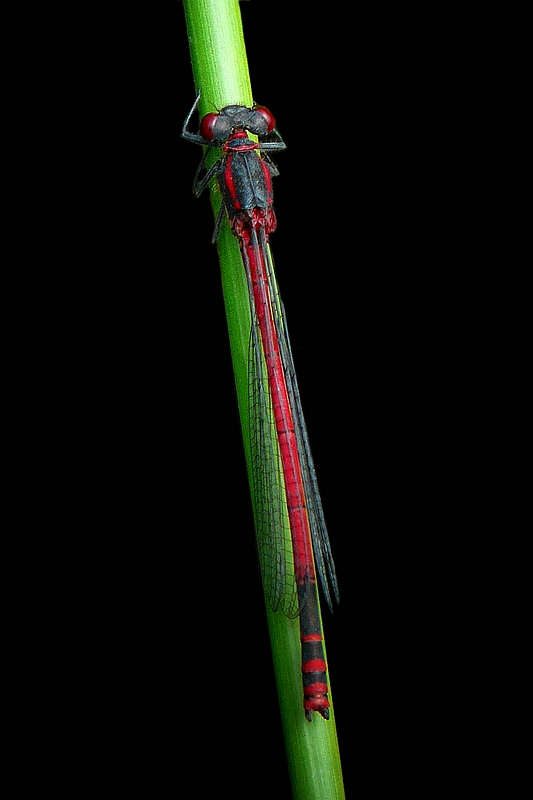 The Living Forest (364) : Large Red Damselfly
