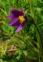 The Living Forest (365) : Pasque flower