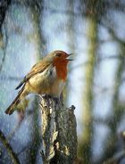 The Living Forest (394) : Singing in the rain…