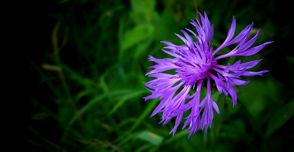 The Living Forest (418) : Brown Knapweed