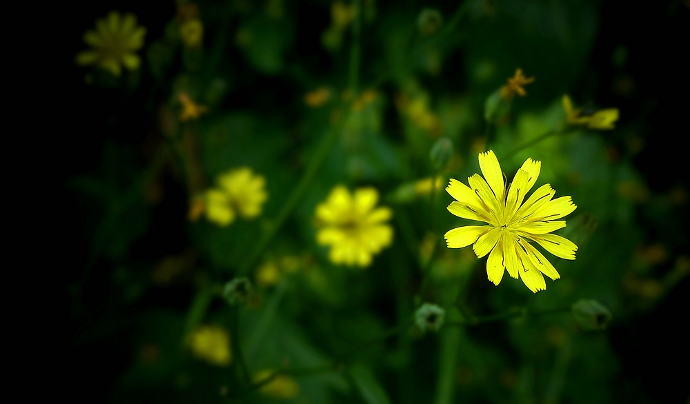 The Living Forest (420) : Nipplewort