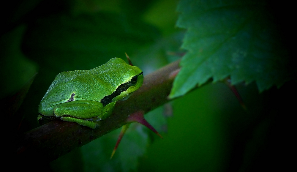 The Living Forest (421) : Tree Frog