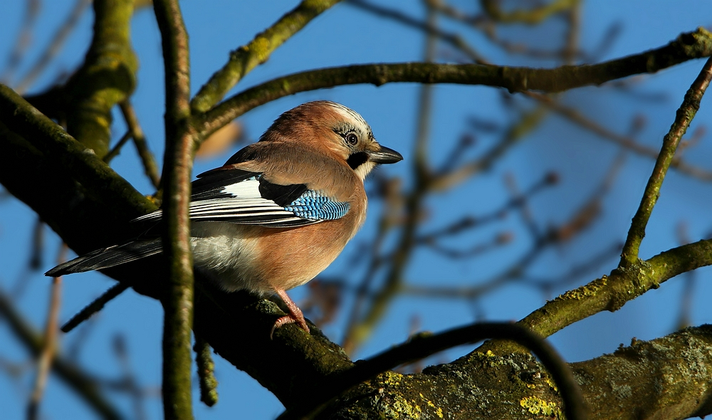 The Living Forest (440) : Jay