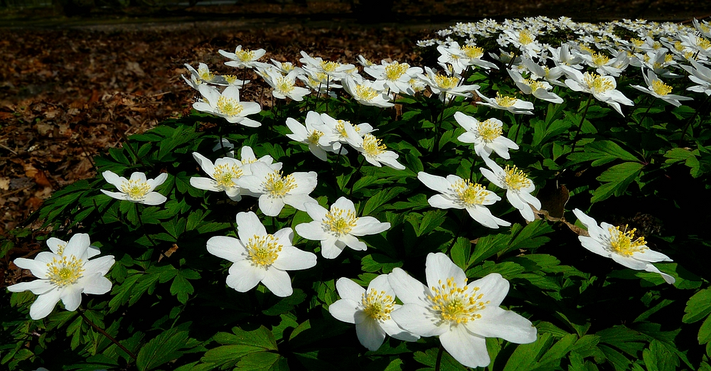 The Living Forest (449) : A carpet of Wood Anemones