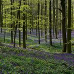 The Living Forest (450) : A sea of Bluebells
