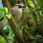 The Living Forest (455) : Jay