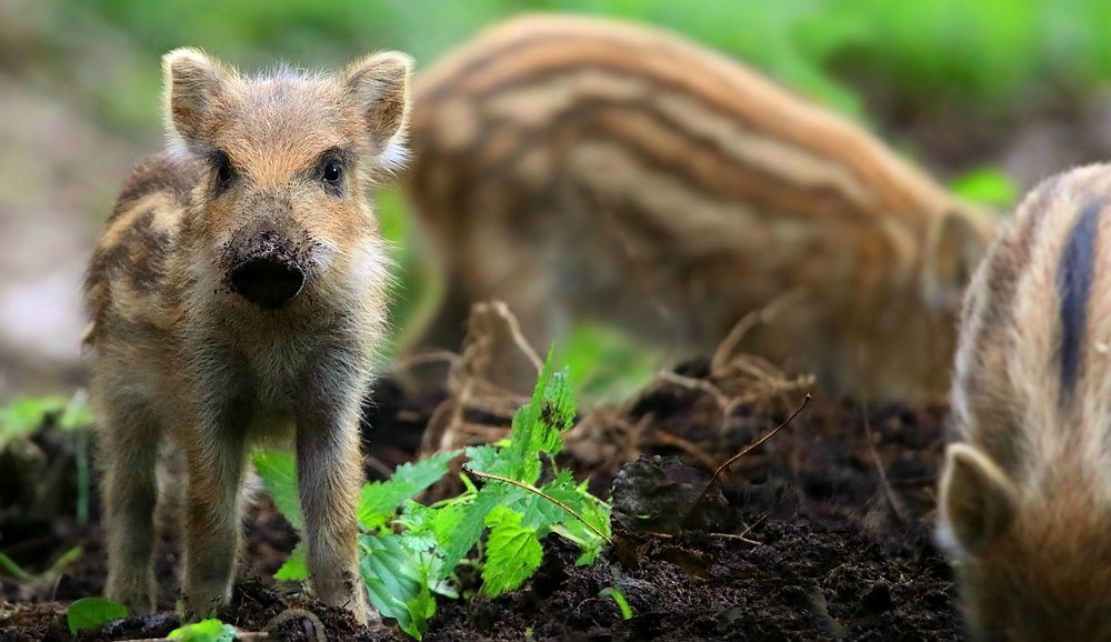 The Living Forest (474) : Wild Boar piglets (1)