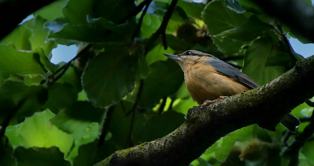 The Living Forest (476) : Nuthatch
